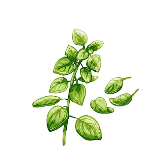 Branches et feuilles vertes fraîches d'origan. illustration d'éclosion vintage de couleur vectorielle isolée sur fond blanc.