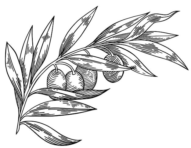 Branches d'olivier isolés sur blanc