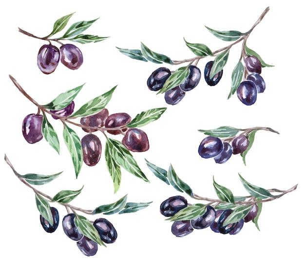 Branches d'olivier noir à l'aquarelle. illustration vectorielle.