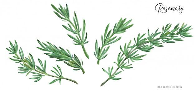 Branches de romarin
