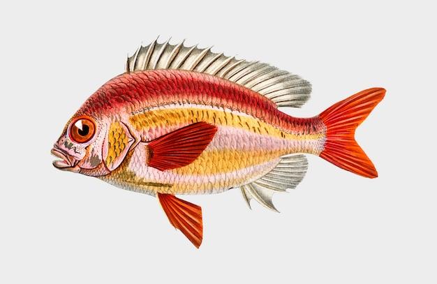 Brème monocle whitecheek (scolopsisscolopsides vosmeri) illustrée par charles dessalines d'orbigny