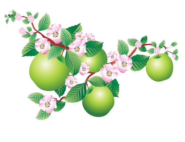 Brin en fleurs de pomme isolé sur blanc