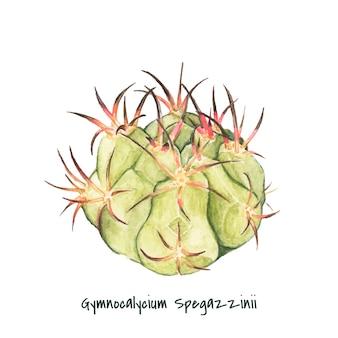 Cactus gymnocalycium spegazzinii dessinés à la main