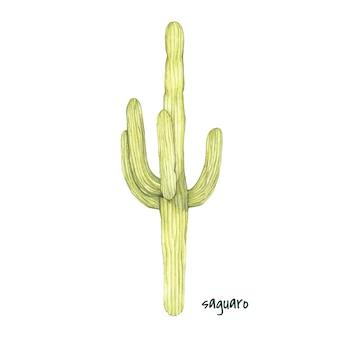 Cactus de saguaro dessiné main isolé sur fond blanc