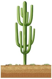 Cactus vert isolé pour la décoration