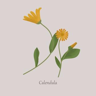Le calendula est une plante médicinale herbacée à fleurs jaunes.