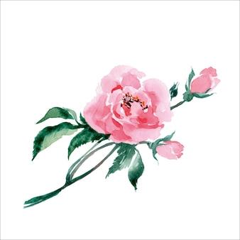 Camélia rose aquarelle. illustration vectorielle dessinés à la main.