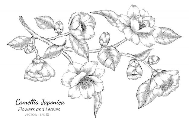 Camellia japonica fleur et feuille dessin illustration