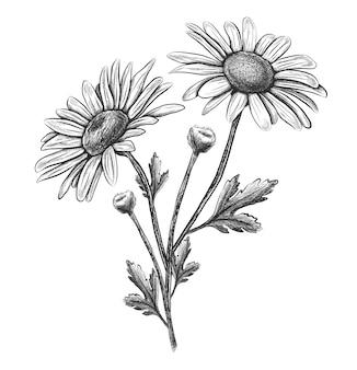 Camomille de fleur dessinée à la main de vecteur.
