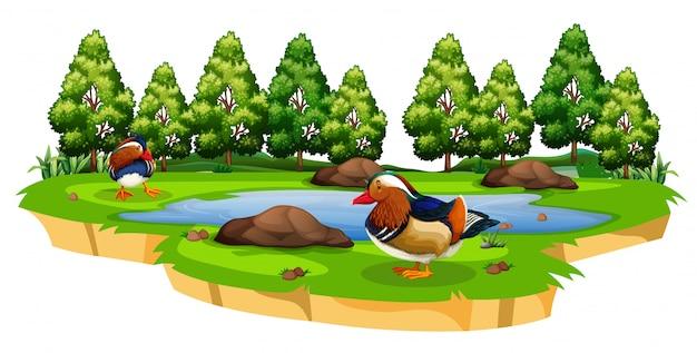 Canard chinois dans le parc