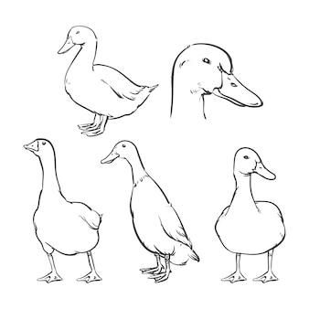 Canard isolé sur fond blanc