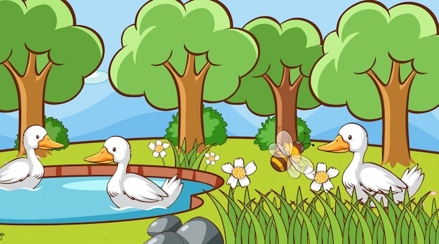 Canards dans le parc