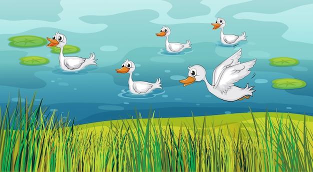 Canards à la recherche d'aliments
