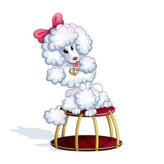 Une caniche dressée blanche est assise sur un stand de cirque.