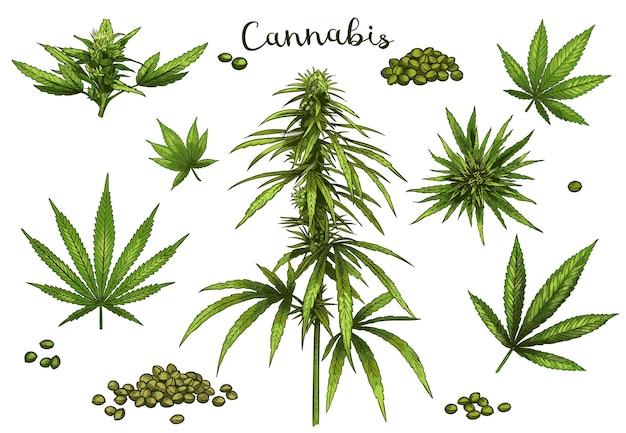 Cannabis dessiné à la main de couleur.