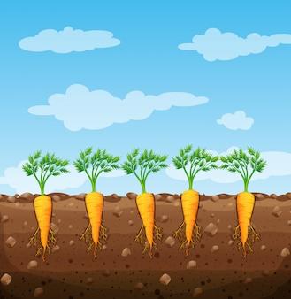 Carottes qui poussent sous terre avec des racines