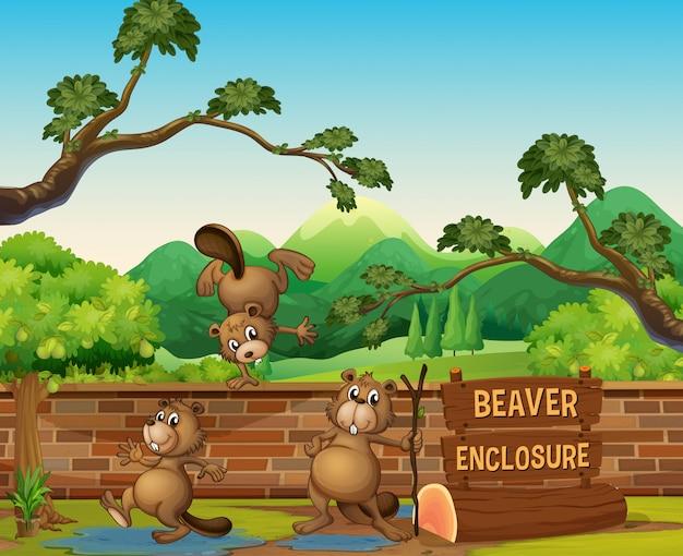 Castors dans le zoo ouvert