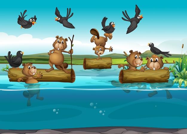 Castors et oiseaux dans la rivière