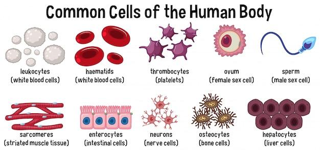 Cellules communes du corps humain