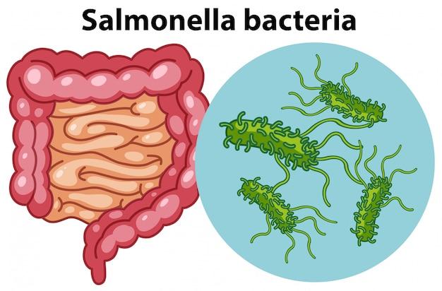 Cellules magnifiées de la bactérie salmonella