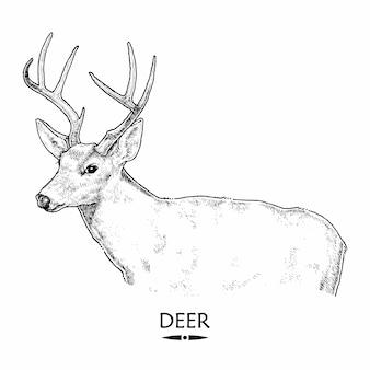 Cerf, illustration dessinée à la main