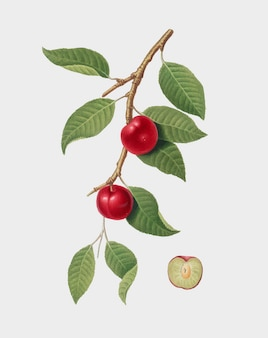 Cerise prune de pomona italiana illustration