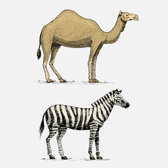 Chameau et zèbre dessinés à la main, animaux sauvages gravés dans un style vintage ou rétro, ensemble de zoologie africaine