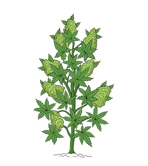 Chanvre, cannabis sativa, cannabis indica, cannabis ruderalis ou chanvre, plante médicinale.