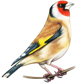 Chardonneret oiseau dessiné à la main crayons de couleur aquarelle