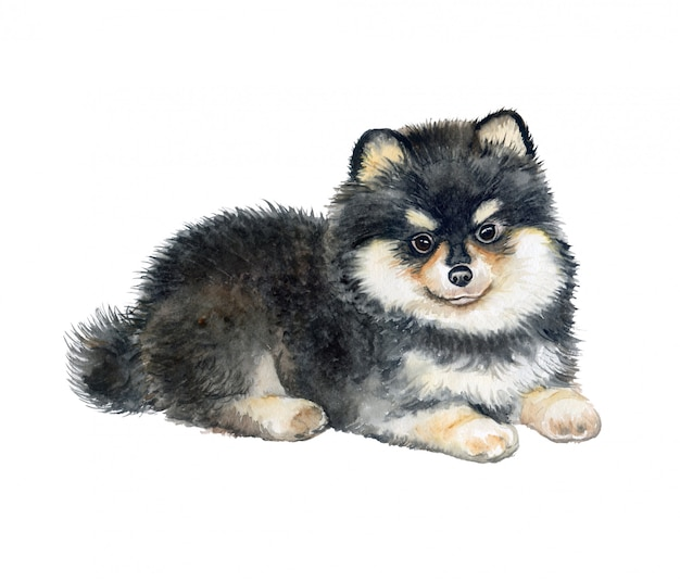 Chiot poméranie, chien pedigree. aquarelle.