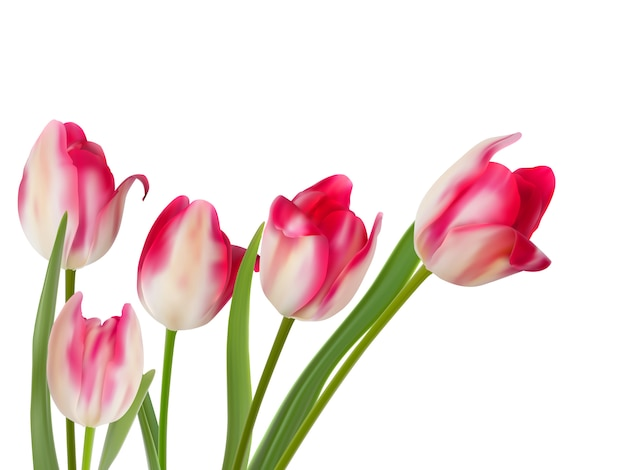 Cinq belles tulipes sur blanc.
