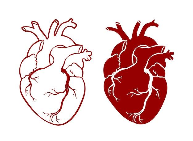 Coeur humain réaliste anatomique