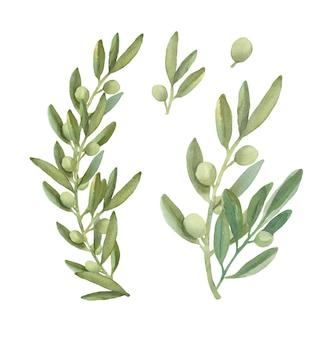 Collection De Branches D'olivier Aquarelle. Vecteur Premium