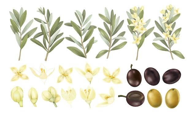 Collection de branches d'oliviers d'olives vertes et noires dessinées à la main et de fleurs d'olivier