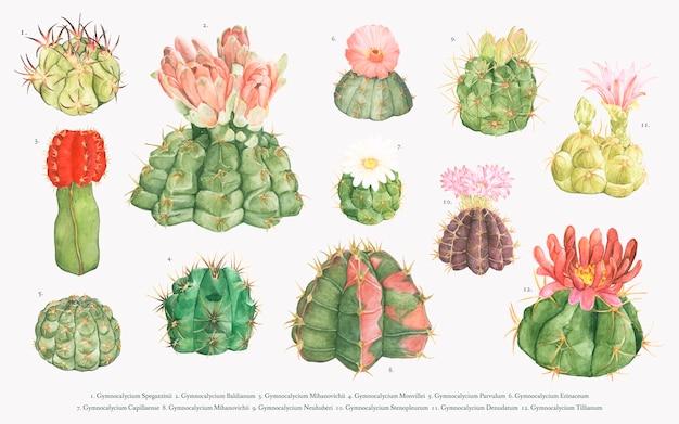 Collection de cactus de gymnocalycium dessinés à la main