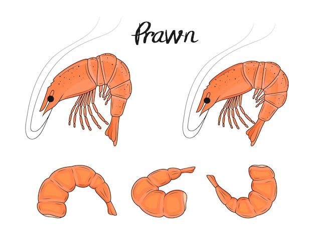Collection de crevettes dessinées à la main. fruit de mer. objets isolés.