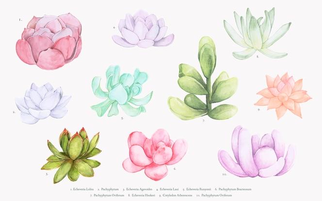Collection de diverses succulentes dessinées à la main