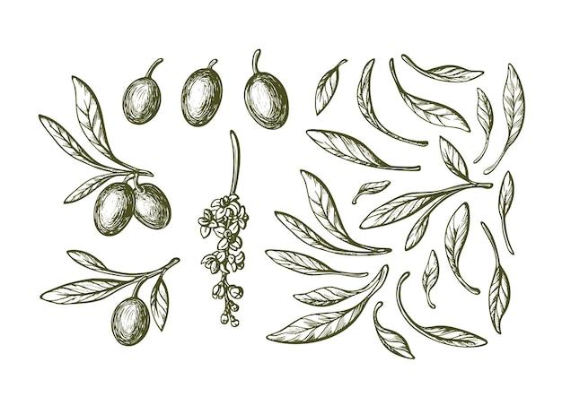 Collection d'éléments de croquis d'olive. plante dessinée à la main, feuilles vertes, fruits mûrs, fleurs en fleurs