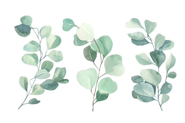 Collection d'eucalyptus aquarelle.