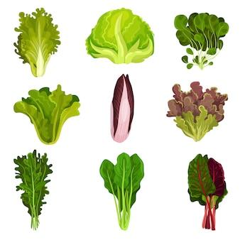 Collection de feuilles de salade fraîche, radicchio, laitue, épinards, roquette, roquette, mâché, cresson, iceberg, collard, nourriture végétarienne biologique saine illustration