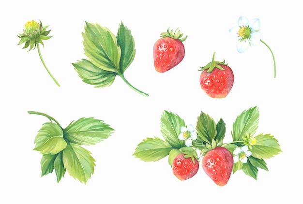 Collection de fraises aquarelle.