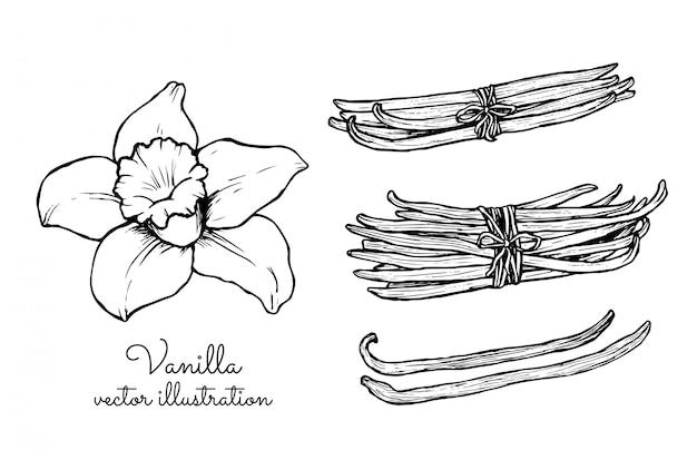 Collection de grappes de fleurs de vanille vintage et de bâtonnets de vanille
