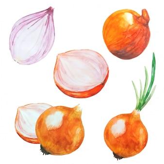 Collection d'illustration aquarelle oignons