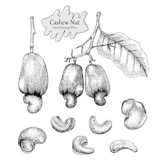 Collection de noix de cajou dessin à la main style vintage sur fond blanc.