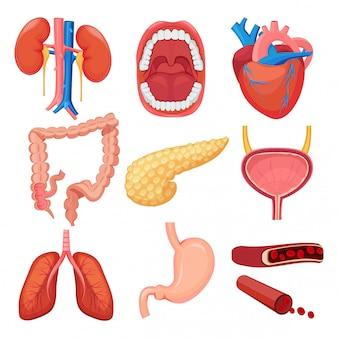 Collection d'organes humains. cerveau foie poumon estomac muscle