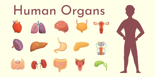 Collection d'organes internes en style cartoon. anatomie du corps humain.