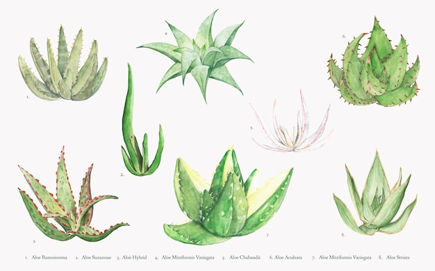 Collection de plantes d'aloès dessinés à la main