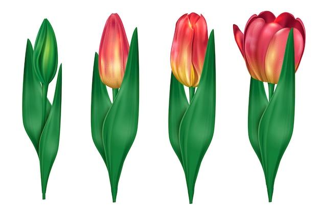 Collection de tulipes qui ouvrent l'illustration