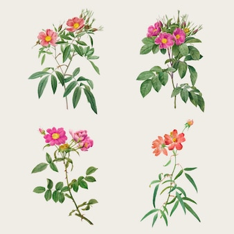 Collection de vecteur de fleur rose vintage