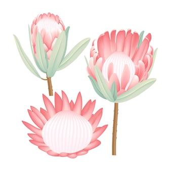 Collection de vecteur protea
